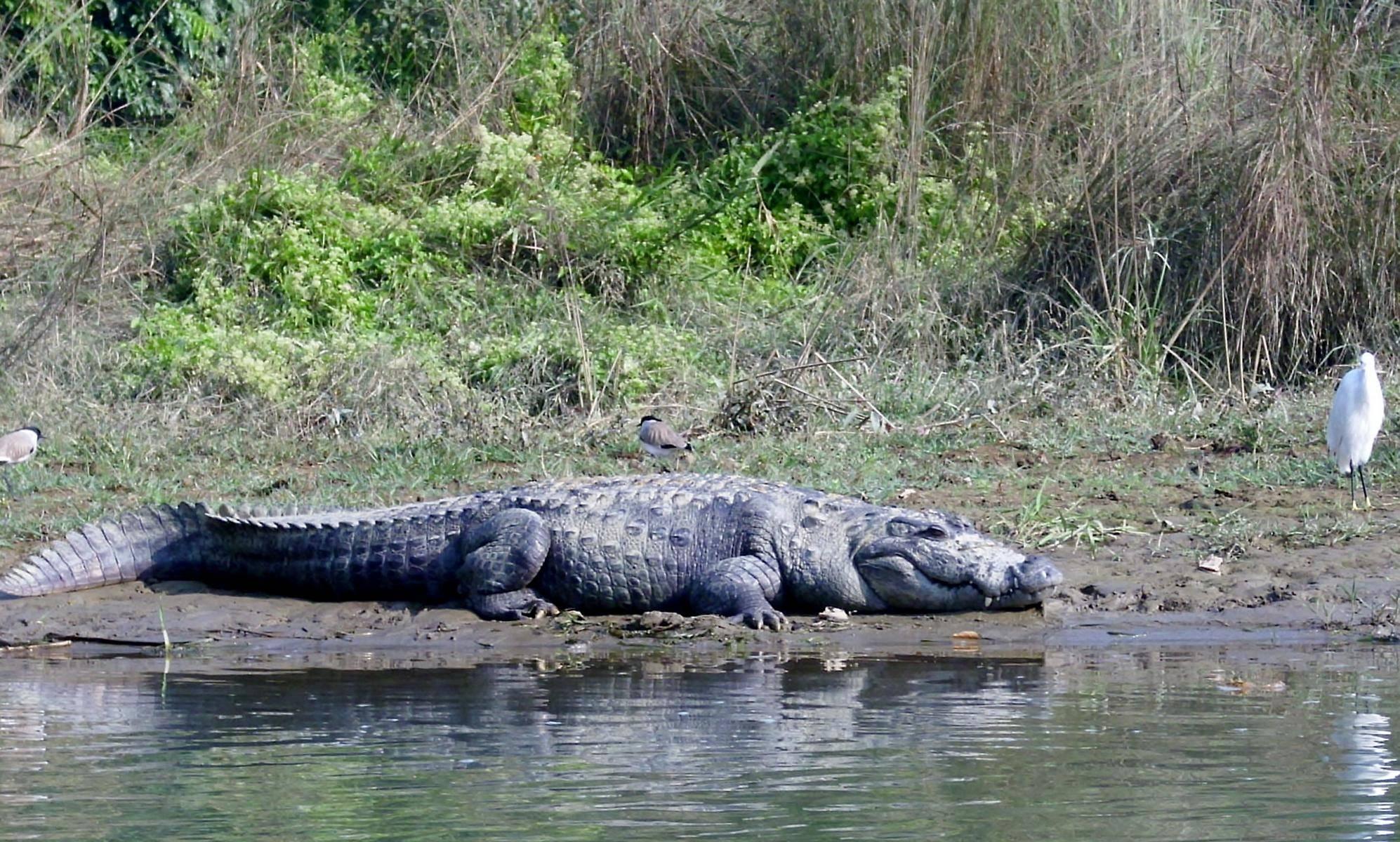 Krokodile im Chitwan