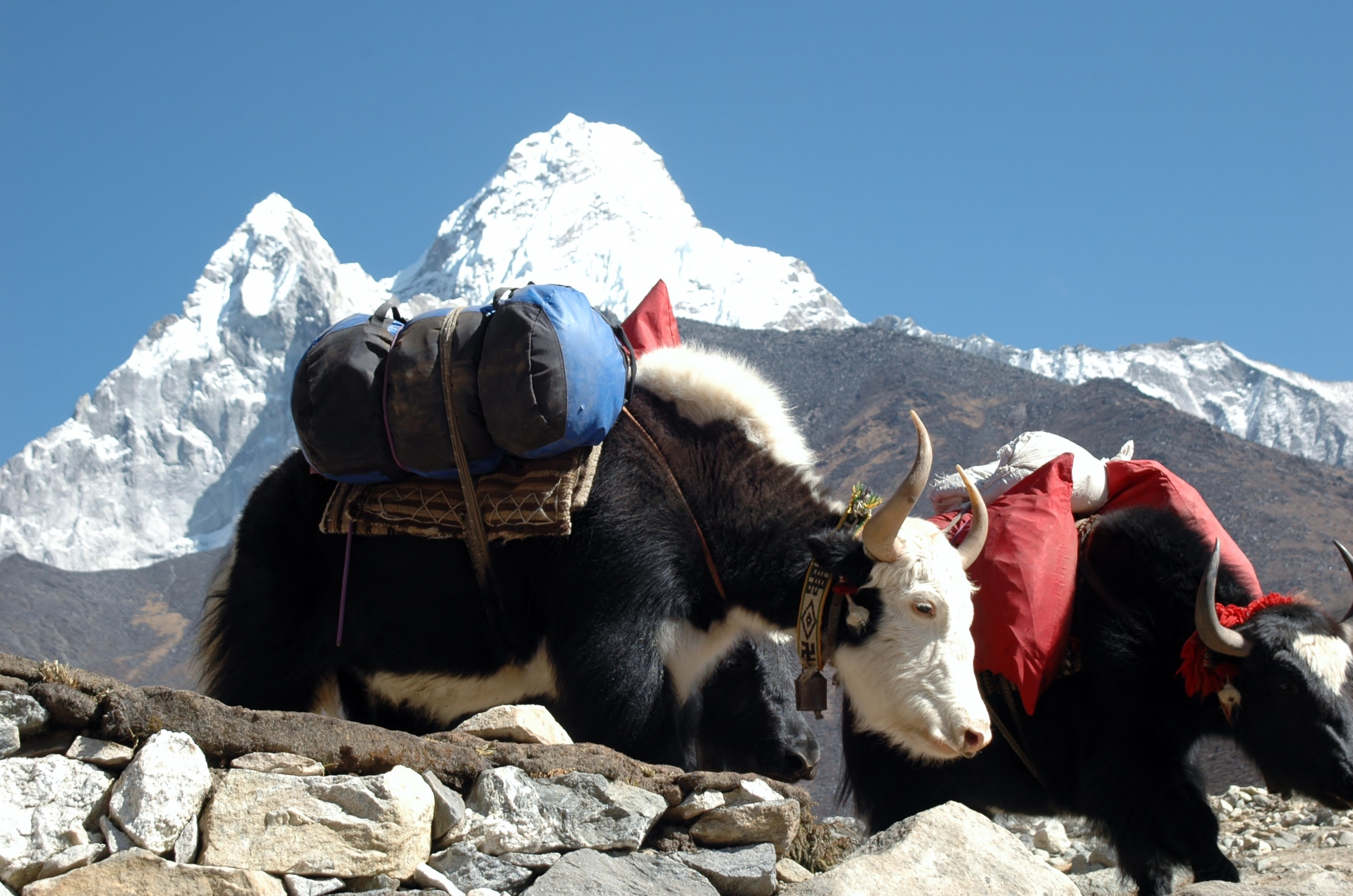 yaks-everest-basis-lager
