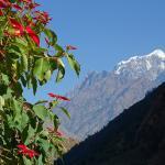 weihnachtsstern-blueten-manaslu-trek