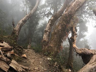 gespenstig-wirkender-rhododendrenwald-mardi-himal-trekkingtour