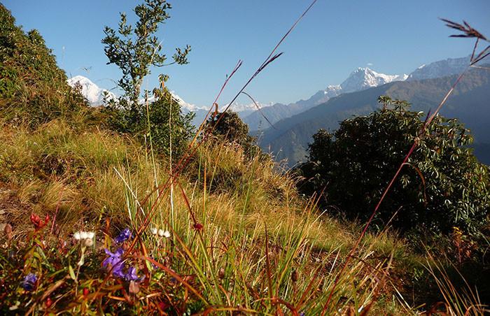 blumen-wiese-annapurna-region