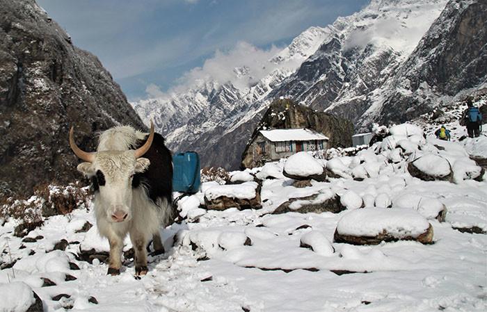 yak-als-lastentier-auf-tamang-heritage-trail-in-nepal