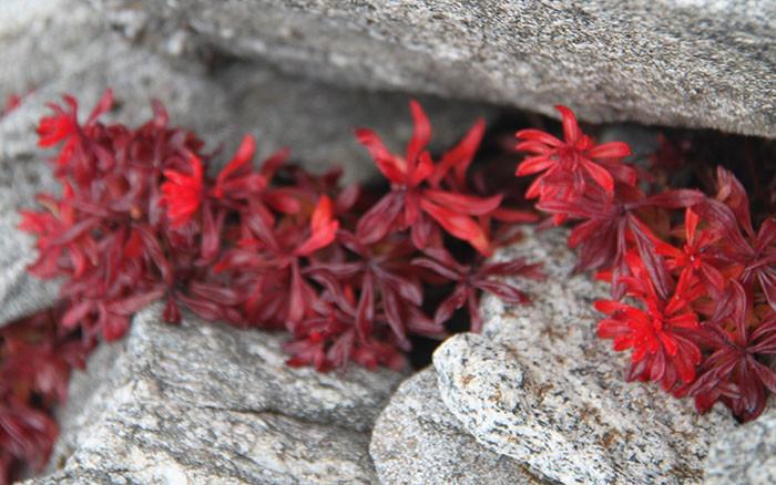 rote-blumen-im-stein-im-himalaya-nepal