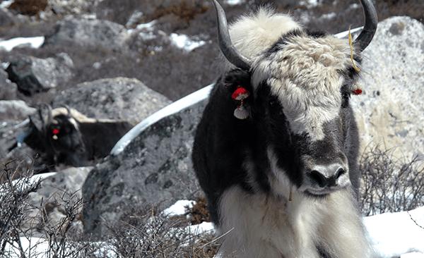 Yaks im Annapurna